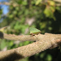 Keeled Treehopper
