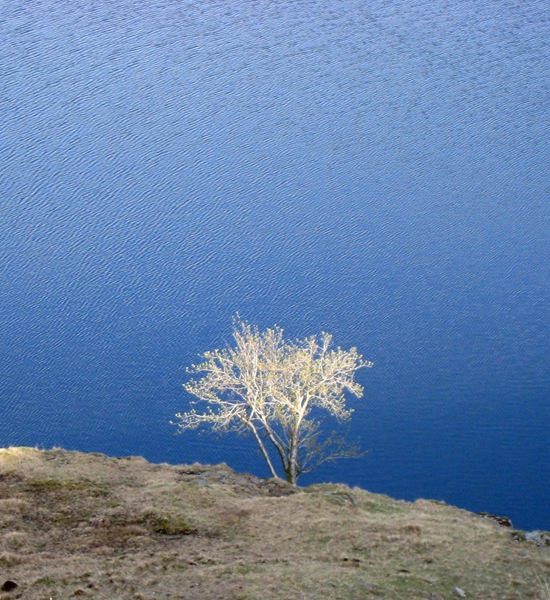 CODALE TARN TREE