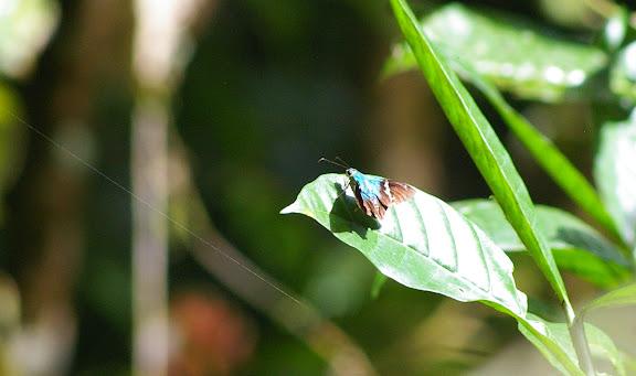 Hesperiidae : complexe d'Astraptes fulgerator WALCH, 1775. Crique Tortue, près de Saut Athanase (Guyane). 22 novembre 2011. Photo : J.-M. Gayman