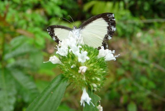 Nymphidium chione BATES, 1867. Rivière Comté (Guyane). 11 décembre 2011. Photo : C. Chazal
