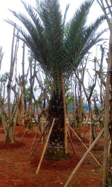 Harga jual pohon palm kurma paling murah, gambar pohon korma
