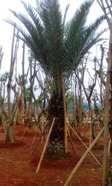 jual pohon palm kurma korma
