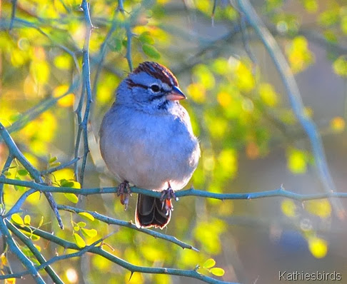 Rufous-winged sparrow in Sycamore canyon 11-21-2009-kab