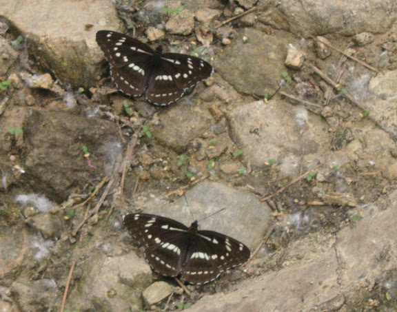 Limenitis homeyeri TANCRÉ, 1881. Chemin de Muraveka à Novogordeevka, à l'est d'Anutchino (Primorskij Kraj, Russie), 2 juillet 2011. Photo : Jean Michel