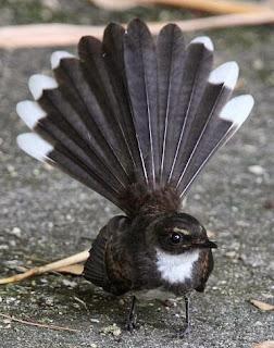 burung sikatan