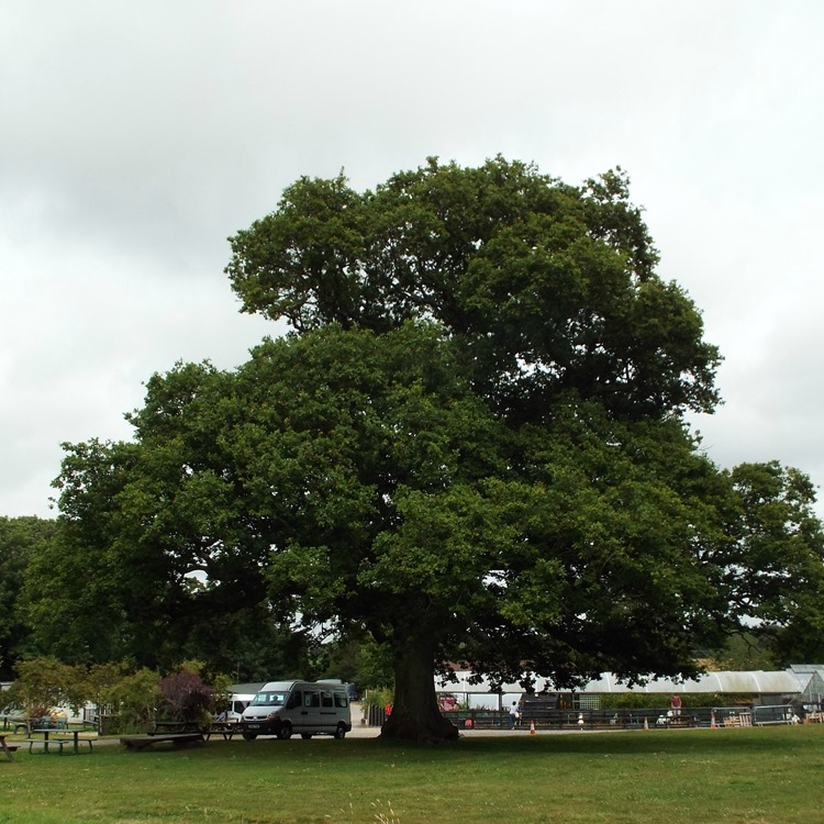a mighty oak tree at aldingbourne country centre