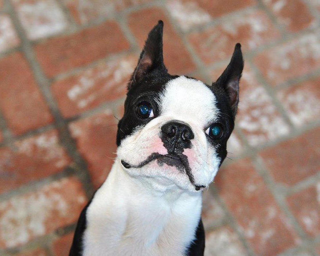 boston terriers wallpapers android apps on google play