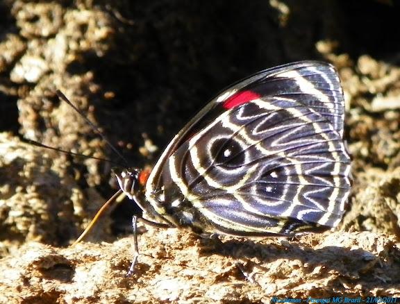 Callicore sorana (GODART, [1824]). Pitangui (MG, Brésil), 21 février 2011. Photo : Nicodemos Rosa