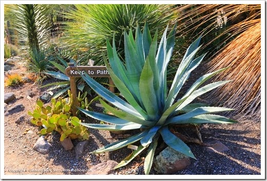 131230_UCBG_Agave-fortiflora_001