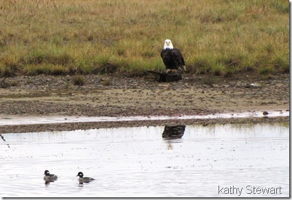 Eagle and Buffleheads