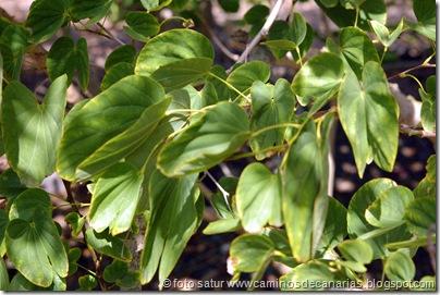 3058 Bauhinia Variegata-Árbol orquídea(C)