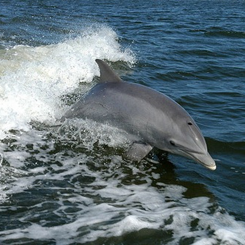 Mortality of dolphins in the seas of Peru disoriented by the sonar ship.