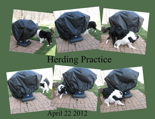 Chance herding chippys April 22 2012