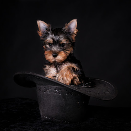 Ellis in the hat by Martin Zenisek - Animals - Dogs Puppies ( color, jorkshire terier, puppy,  )