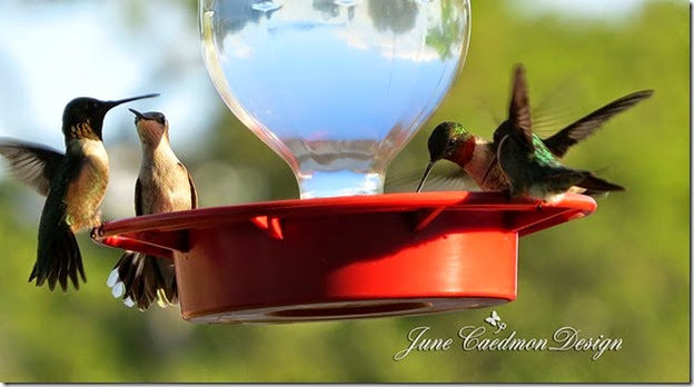 Ruby-throated_Hummingbird3