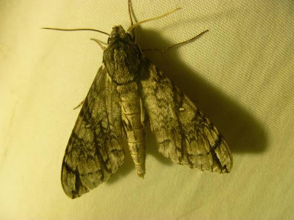 Sphinginae : Panogena jasmini (BOISDUVAL, 1875), endémique. Mananara Lodge, Anjozorobe (Madagascar), 6 janvier 2014. Photo : J. Marquet