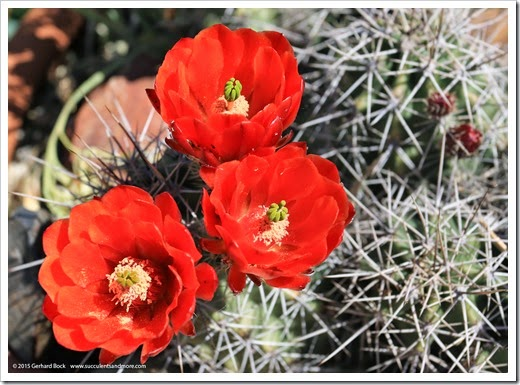 150414_Echinocereus-triglochidiatus_002
