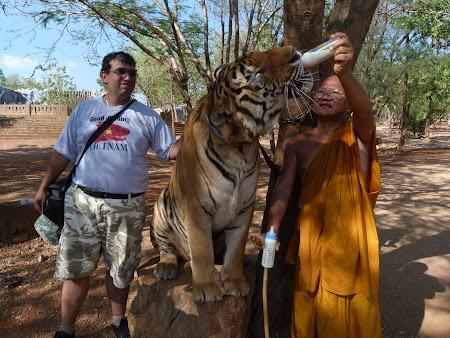 Templul tigrilor Thailanda - hranirea tigrului