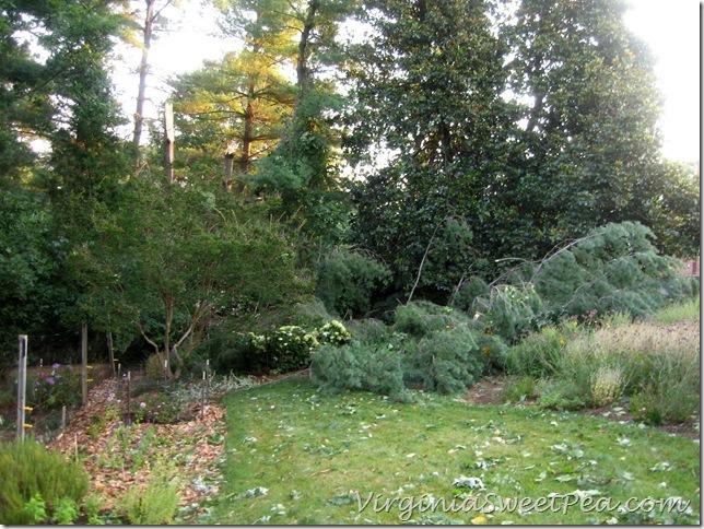 Pine on Big Flowerbed3