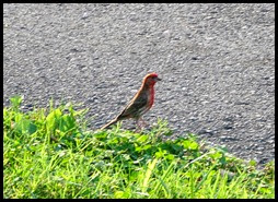 01d2 - birds - house finch