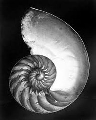 Edward Weston - nautilus shell