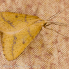 Yellow Belle Moth