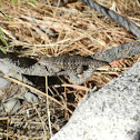 Spiny Lizard sps