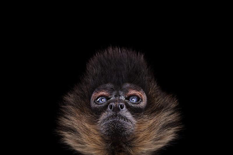 animal-photography-affinity-Brad-Wilson-spider-monkey-2.jpeg