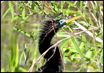 04b - Anhinga breeding eye color