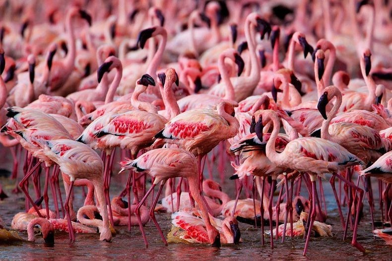 lake-nakuru-flamingos-12