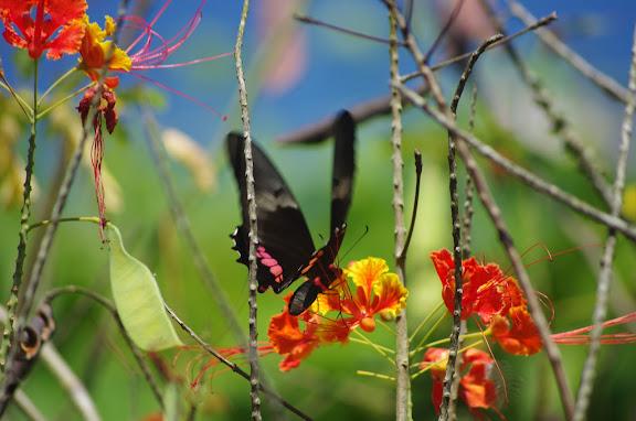 Papilio anchisiades ESPER, 1788, sur fleur de flamboyant. Barra do Una (Sao Sebastiao, SP). 7 février 2012. Photo : J.-M. Gayman