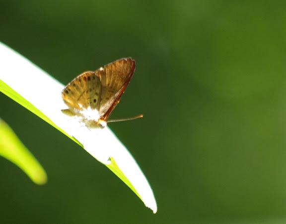Riodinidae : Synargis tytia tytia (CRAMER, 1777), mâle. Crique Cochon, sur le sentier de Popote (Saül), 17 novembre 2012. Photo : J.-M. Gayman