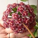 Flor de cera (Hoya)