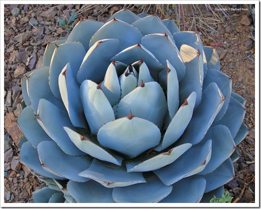 131004_RBG_Fall_Agave-parryi-truncata_02