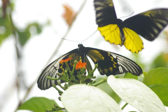 Couple de Troides amphrysus flavicollis DRUCE, 1873. Moyog, Crocker Range (Sabah, Malaisie, Bornéo), 18 août 2011. Photo : J.-M. Gayman