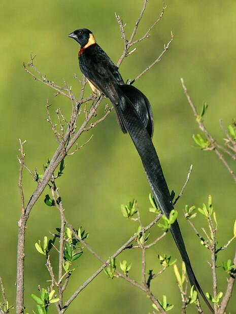 Burung emprit/pipit yang berekor panjang