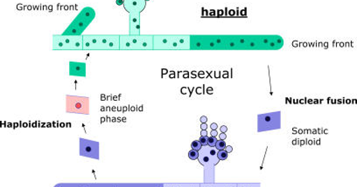 Discuss parasexual cycle in deuteromycetes