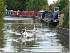 Here come the swans