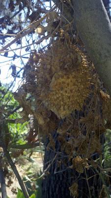 Marah Macrocarpus or wild cucumber