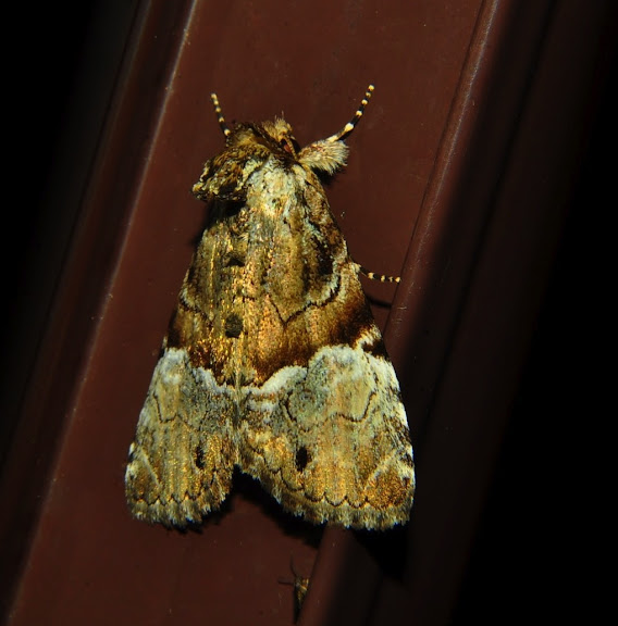 Noctuidae : Amphipyrinae : Epicyrtica leucostigma TURNER, 1902. Umina Beach (NSW, Australie), 26 octobre 2011. Photo : Barbara Kedzierski