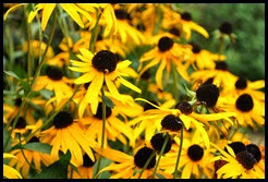 25i3 - Anna Ruby Falls - Trees and Flowers - Rudbeckia ( Black-eyed-susan)