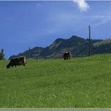 noch mehr Kühe