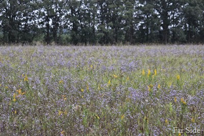 Field of Asters and Goldenrod