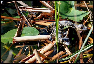 02c - Shark Valley - Baby Gators not as big as a leaf