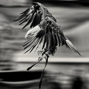 White Tailed Eagle B&W.jpg