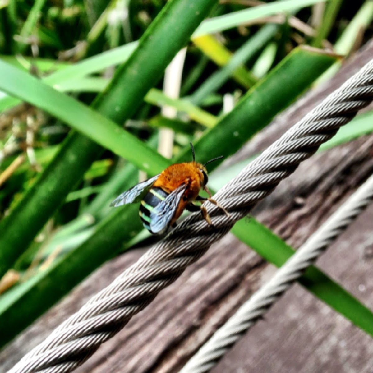 Blue banded bee