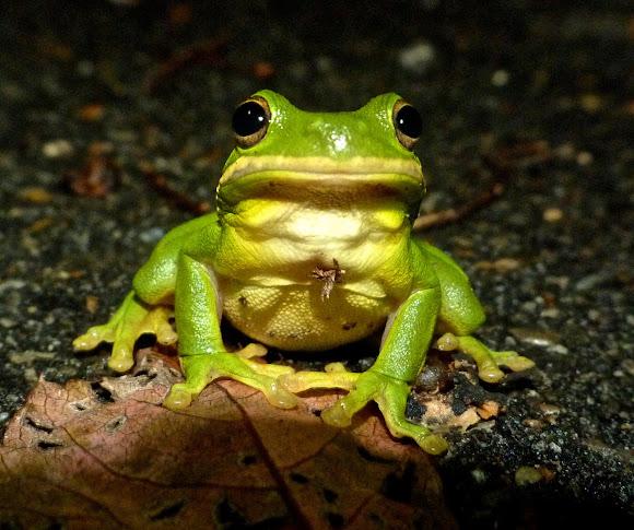 Green tree frog   Project Noah