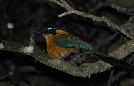 Pasari Costa Rica: Motmot in Padurea Monteverde
