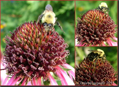bbee on coneflower collage