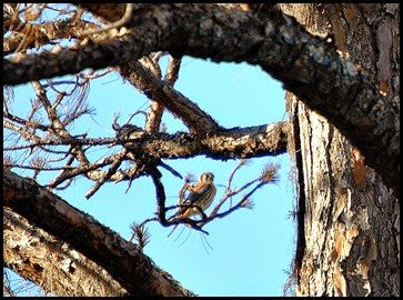03d - Eagle Walk - American Kestrel